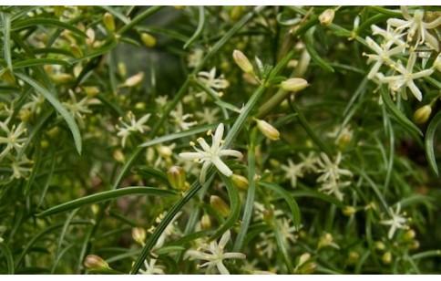 Asparagus cochinchinensis