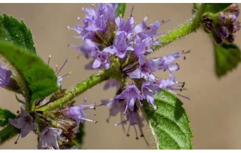 Mentha arvensis / canadensis