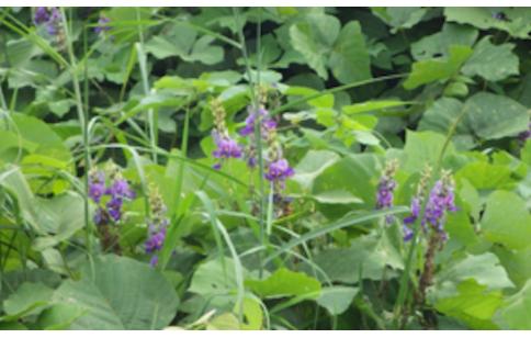 Pueraria thomsonii