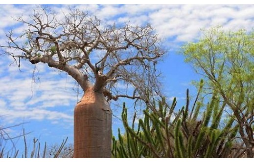 Adansonia fony