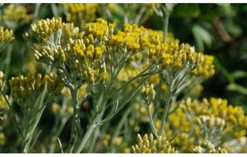 Helichrysum bracteiferum