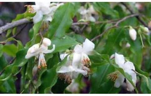 Camellia ptilophylla
